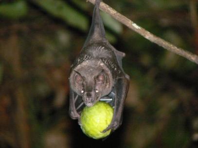 Phyllostomid bat